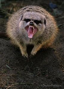 angry-meerkat